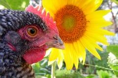 宏观雄鸡和向日葵 免版税库存照片