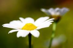 宏观雏菊花被弄脏的背景& x28; marguerite& x29; 库存照片