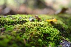 宏观青苔在森林里 免版税库存图片