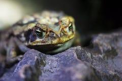 宏观青蛙 库存图片