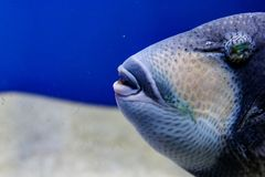 宏观鱼青收缩的balistod,balistoides viridescens 免版税库存照片