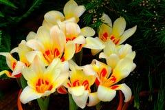 宏观黄色黄水仙的花 免版税库存照片