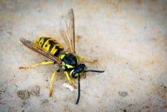 宏观黄蜂 图库摄影