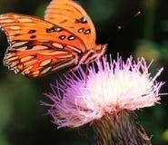 宏观蝴蝶 库存照片