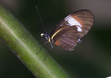 宏观Heliconius heurippa, Longwing蝴蝶 免版税库存照片