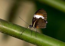 宏观Heliconius heurippa, Longwing蝴蝶 库存照片