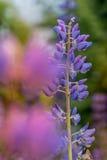 宏观Lupene花和模糊的背景 明亮的颜色 浅DOF 库存照片