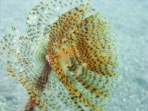 宏观spirographis 库存照片