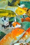 定位鲤鱼另外的方向同样类型 库存图片