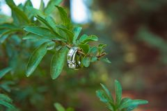 定婚戒指本质上,绿色背景 男孩庭院女孩亲吻的爱情小说 在美好的叶子分支背景的婚戒 免版税库存图片