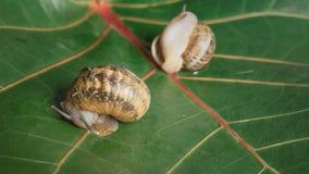 定期流逝可食的葡萄蜗牛螺旋Aspersa研磨器叫醒并且爬出水槽 股票录像
