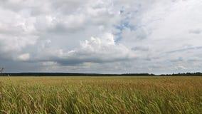 定期流逝,飞行在黄色领域麦子的蓝天的白色云彩 股票录像