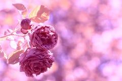 定调子在与bokeh的美好的背景的玫瑰葡萄酒 淡粉红色颜色 选择聚焦 库存图片