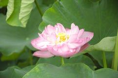 宜宾县,在西部的四川yongxingzhen莲花Haihe 免版税库存照片