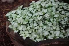 宝盖草maculatum `红色南希` 免版税库存照片