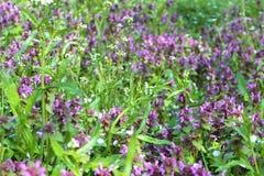 宝盖草purpureum紫色死荨麻紫色开花  免版税库存照片