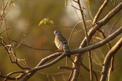 绿宝石被察觉的木鸠是鸽子 免版税库存图片