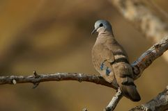 绿宝石被察觉的木头鸠(Turtur chalcospilos) 图库摄影