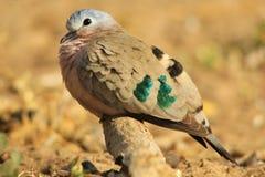 绿宝石被察觉的鸠-五颜六色的鸟背景-对世界的和平 免版税库存照片
