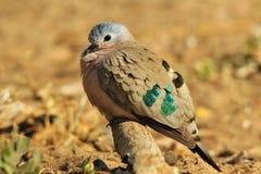 绿宝石被察觉的鸠-五颜六色的鸟背景-异乎寻常的绿色本质上 免版税图库摄影