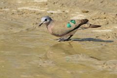 绿宝石被察觉的鸠-从非洲的狂放的鸟背景-超级颜色 图库摄影
