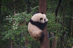 实践树上升的大熊猫崽 免版税库存图片
