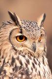 实际猫头鹰的纵向 库存照片