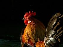 实际的公鸡五颜六色的i 免版税库存照片