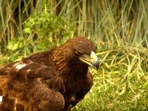 实际老鹰的狩猎 免版税库存图片