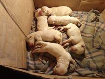 实验室小狗 库存图片