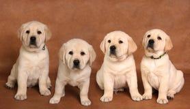 实验室小狗 免版税库存图片