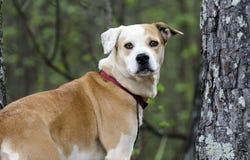 实验室牛头犬与红色衣领,宠物收养摄影混合了品种狗 免版税库存图片