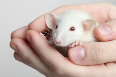 实验室鼠 免版税库存图片