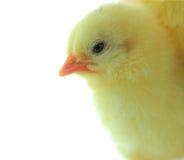 实验的小鸡 图库摄影