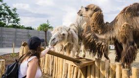 宠爱和喂养骆驼的旅游女孩在动物园 库存照片