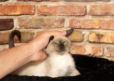 宠爱暹罗小猫的年轻男性手 免版税图库摄影