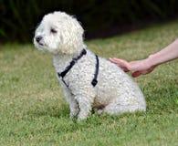 宠爱白色长卷毛狗的手 免版税库存照片