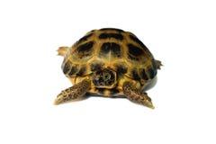 宠物乌龟 免版税库存照片
