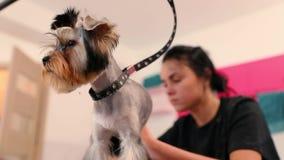 宠物修饰沙龙 得到头发的狗被剪在动物温泉沙龙 影视素材