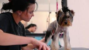 宠物修饰沙龙 得到头发的狗被剪在动物温泉沙龙 股票视频