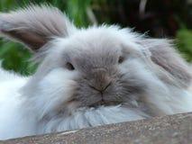 宠物兔子在庭院里 免版税库存图片