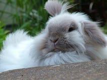 宠物兔子在庭院里 库存图片