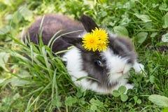 宠物兔子特写镜头 免版税库存图片