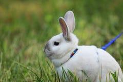 宠物兔子画象与蓝色主角的 库存图片