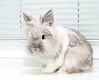 宠物兔子 免版税库存照片
