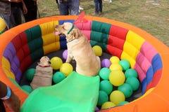 宠物公平联邦机关的狗 库存图片