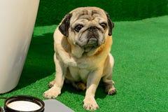 宠物友好的哈巴狗狗开会 免版税库存图片