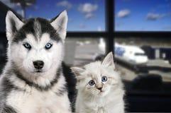 宠物在机场 旅行与一只猫和一条狗在飞机上 图库摄影