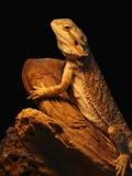 宠物店蜥蜴 免版税库存照片