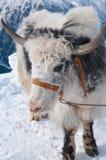 宠物牦牛 库存照片